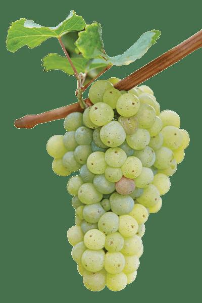 Описание винодельческого сорта из Старого Света — виноград Рислинг