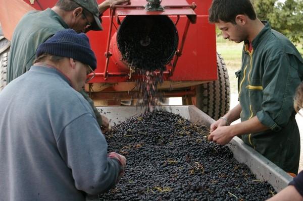 Сортировка винограда