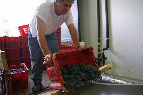 Гроздья собранного винограда