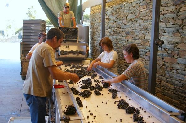 Ручная сортировка винограда на винодельне