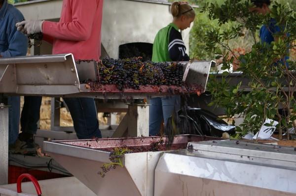 Виноград на конвейере